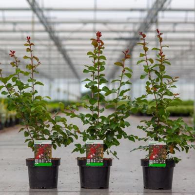 lagerstroemia-indica-dynamite