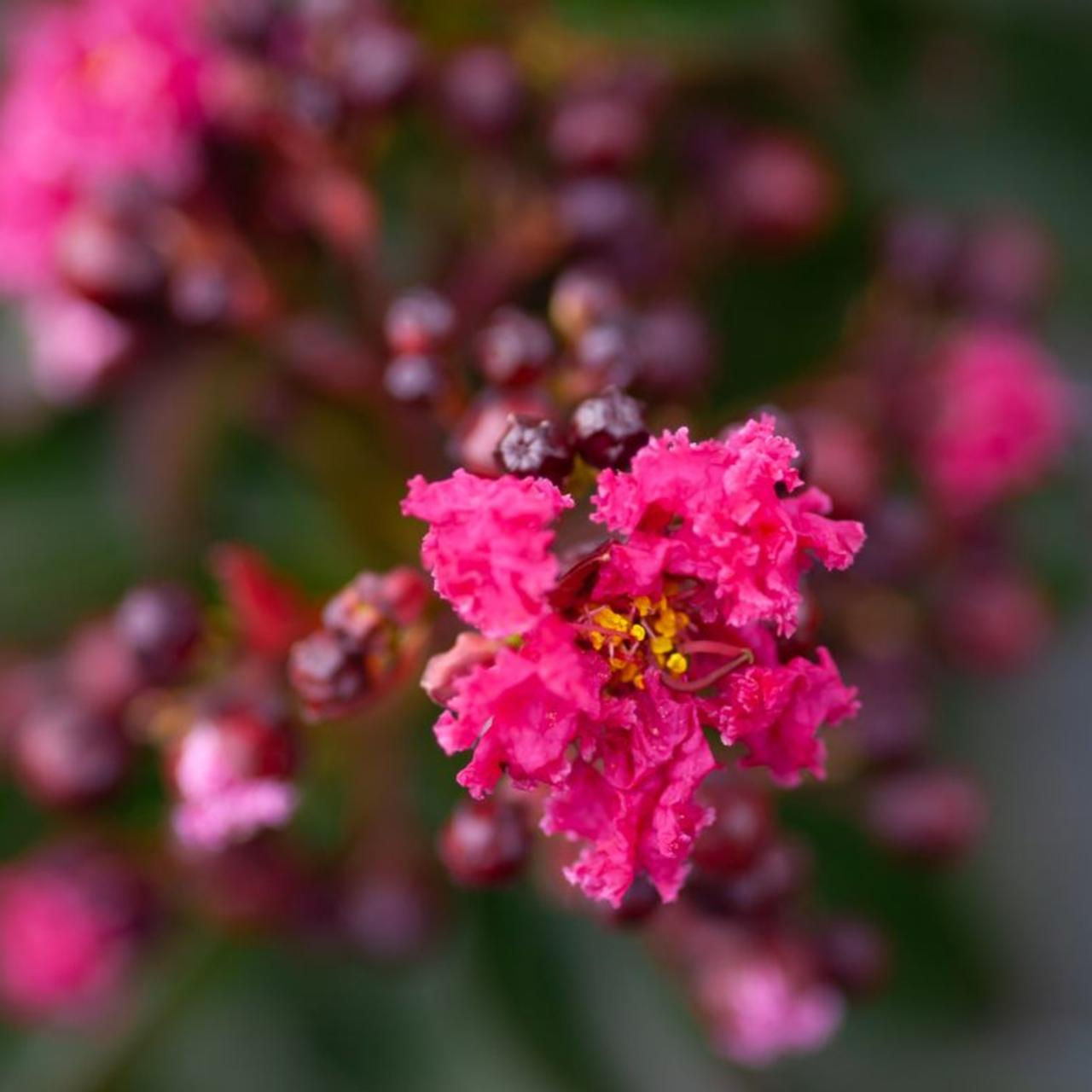 Lagerstroemia indica 'Pink Velours' plant