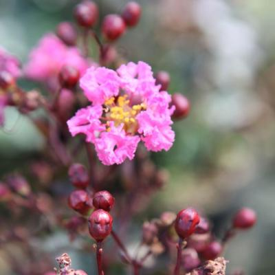 lagerstroemia-indica-rhapsody-in-pink