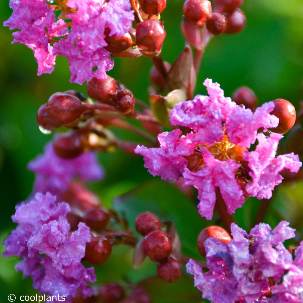 Lagerstroemia 'Twilight' plant