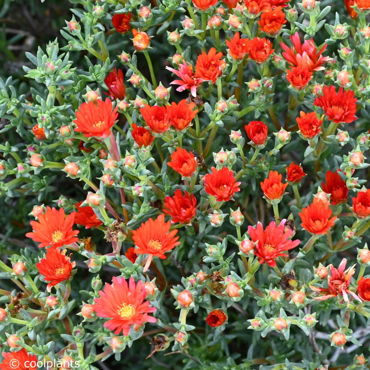 Lampranthus aureus 'Orange' plant