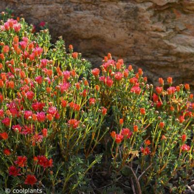 lampranthus-aureus-orange