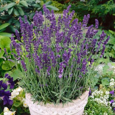 lavandula-angustifolia-hidcote