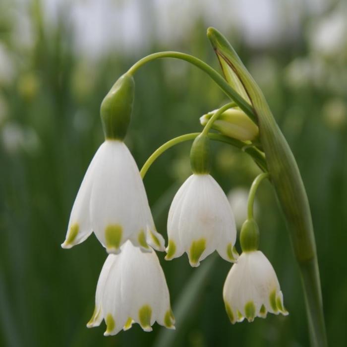 Leucojum aestivum 'Gravetye Giant' plant