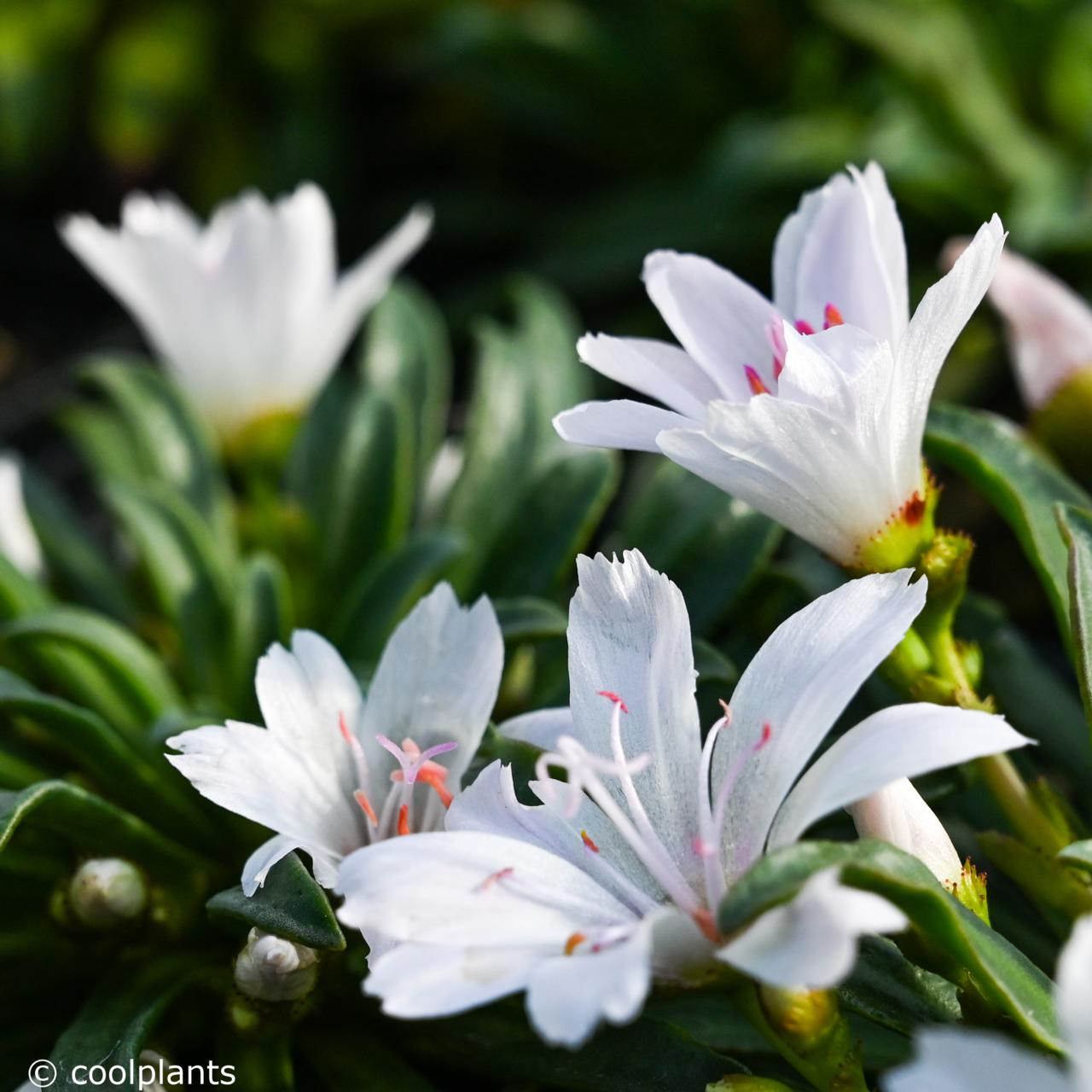 Lewisia 'Little Snowberry' plant