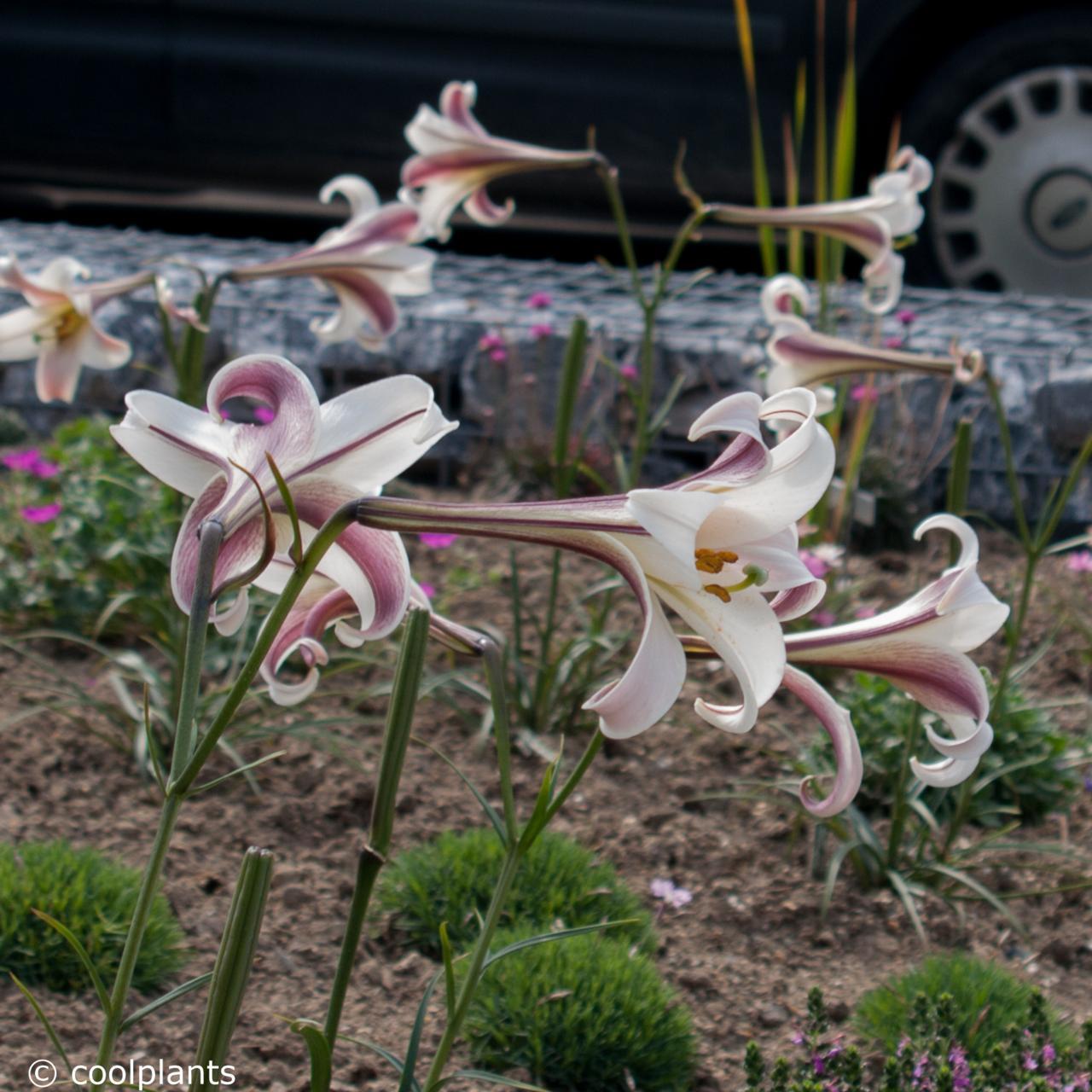 Lilium formosanum var. pricei plant