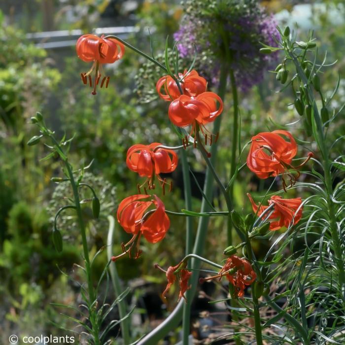 Lilium pumilum plant