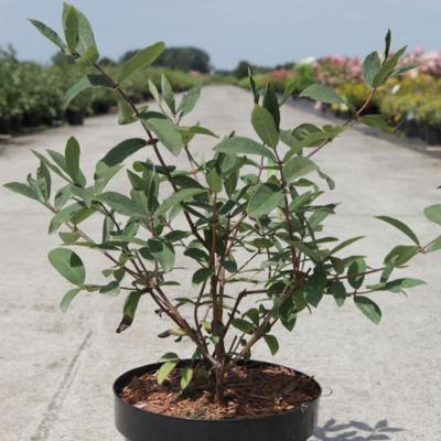 lonicera-caerulea-kamtschatica