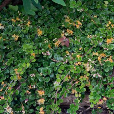 lonicera-crassifolia-little-honey
