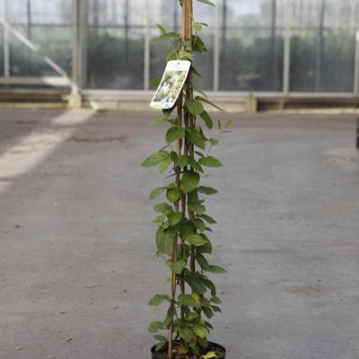 lonicera-japonica-halliana
