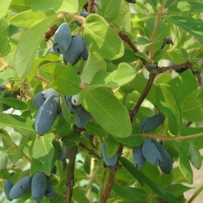 Lonicera kamtschatica 'Bee Myberry' plant