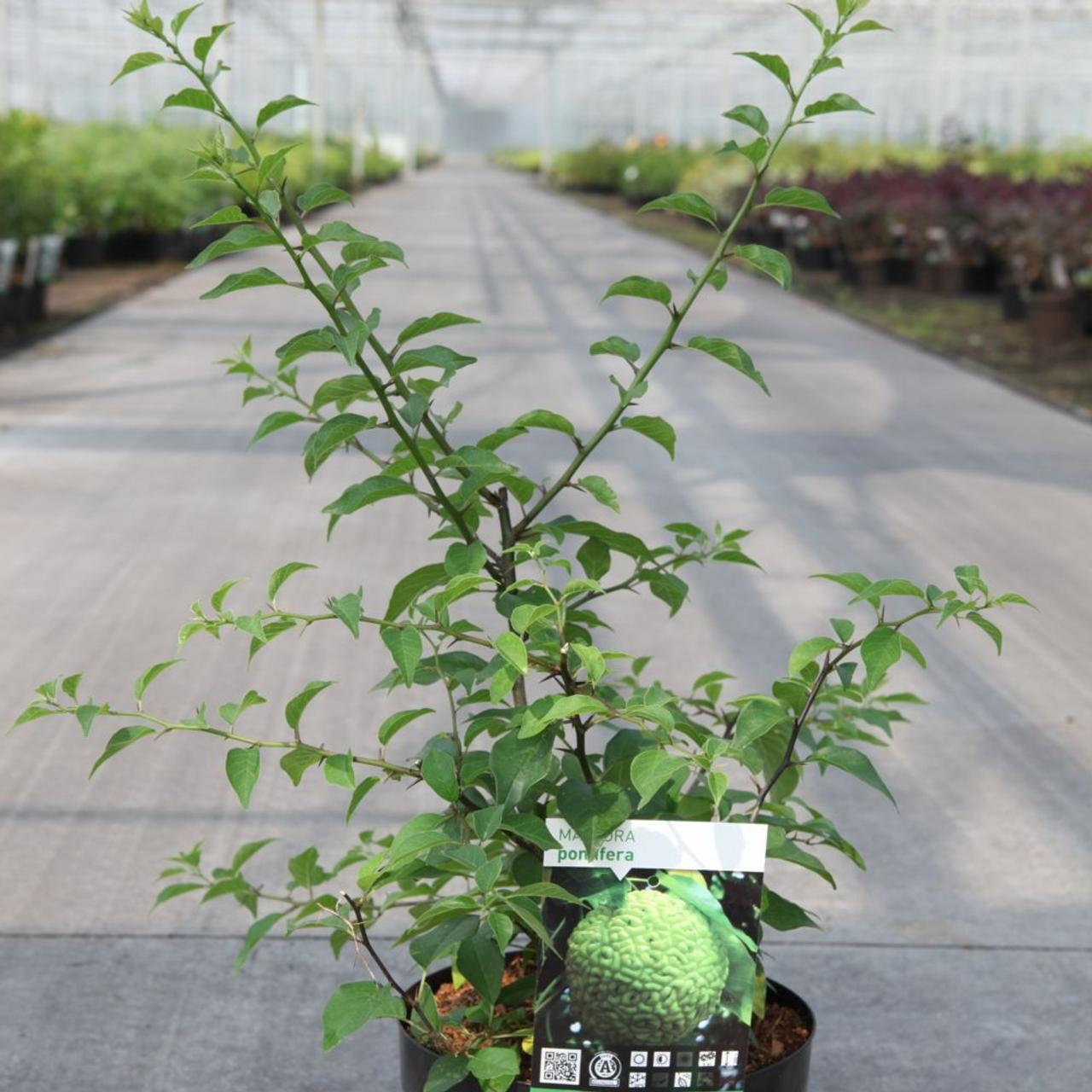 Maclura pomifera plant