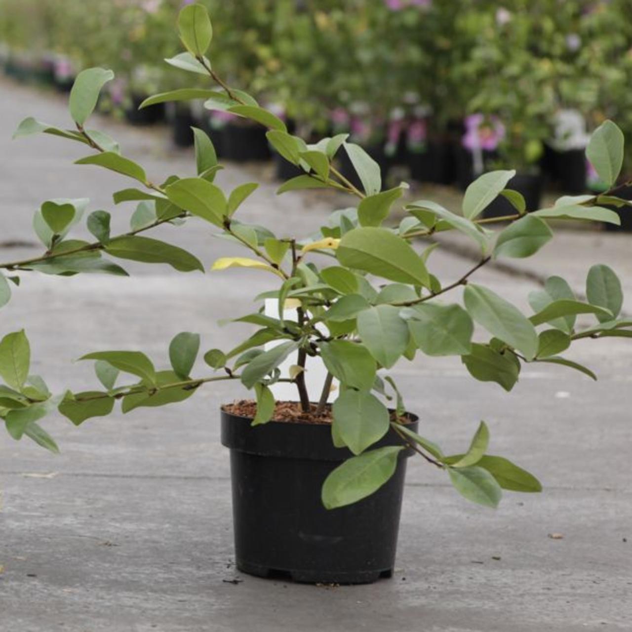 Magnolia 'Fairy Blush' (35512)