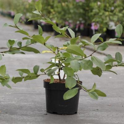 magnolia-fairy-blush