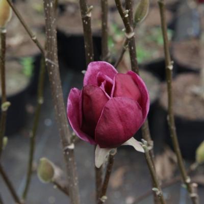 magnolia-genie