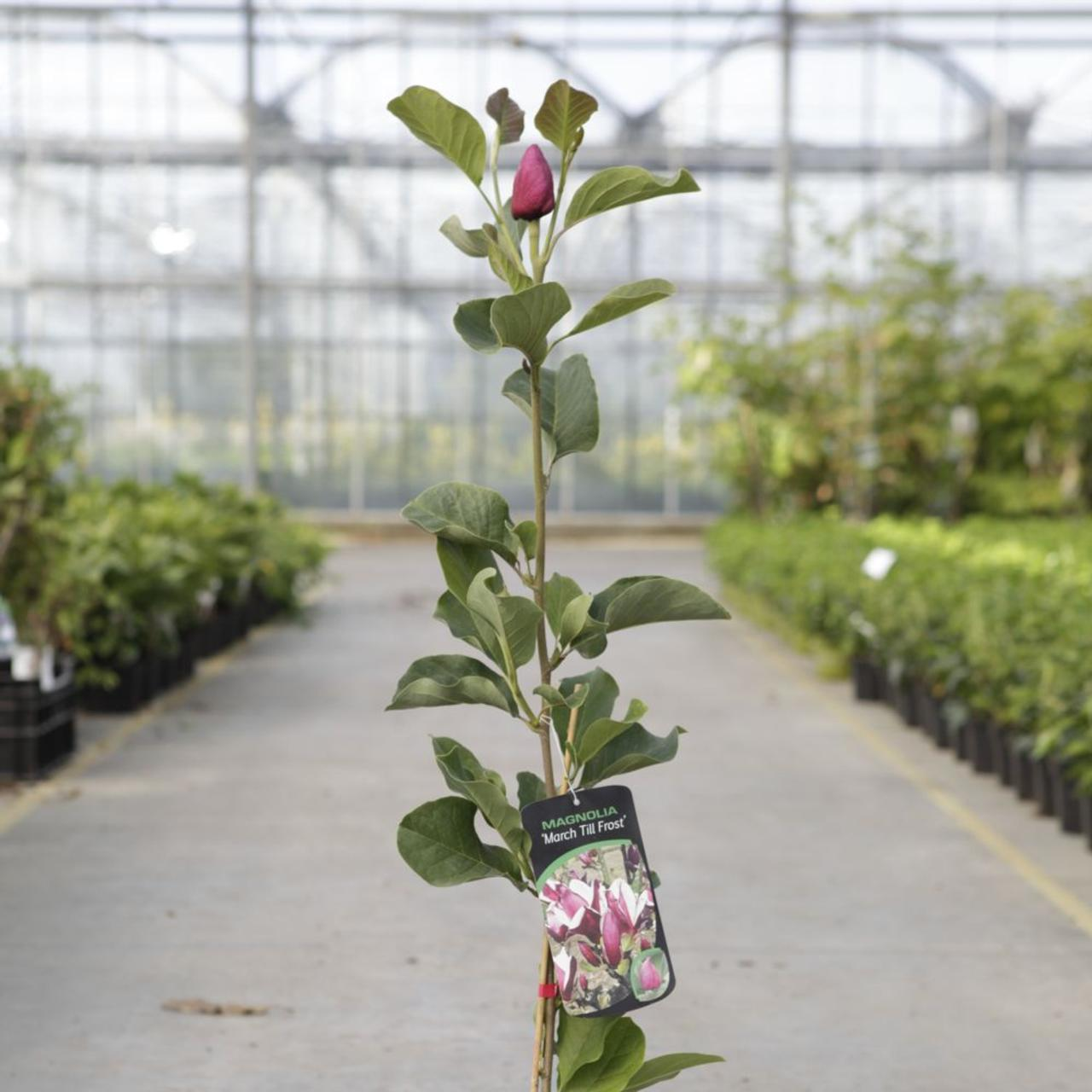 Magnolia 'March Till Frost' plant