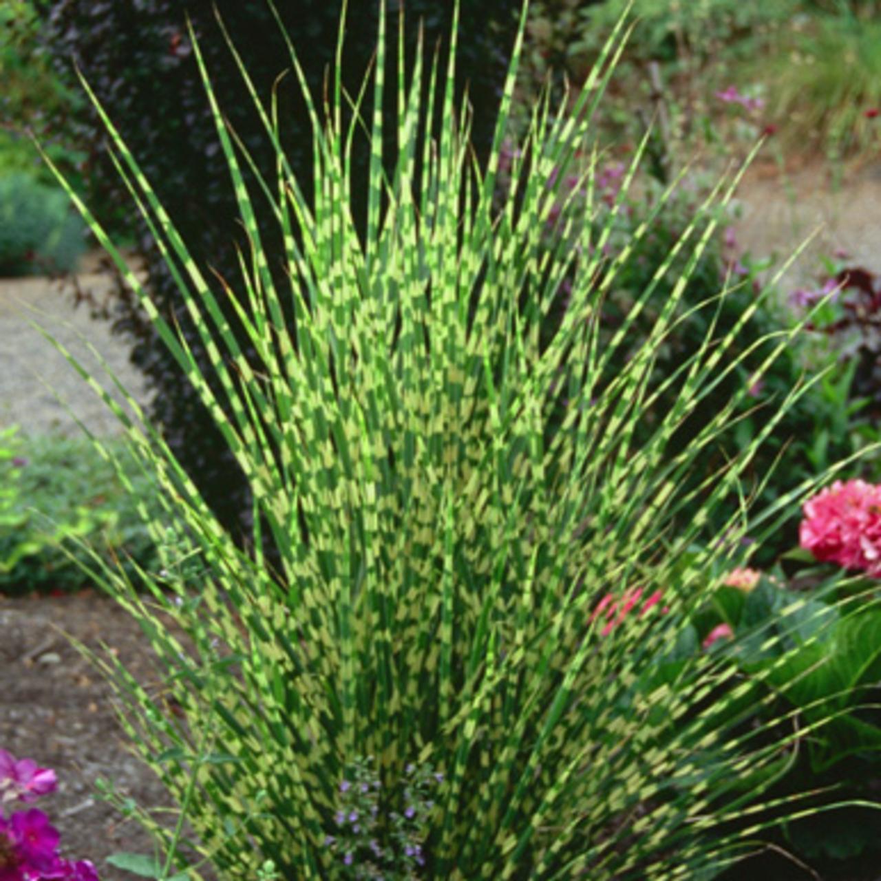 Miscanthus sinensis 'Gold Bar' plant