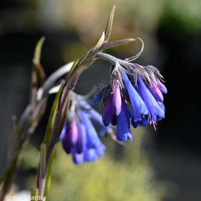 moltkia-graminifolia