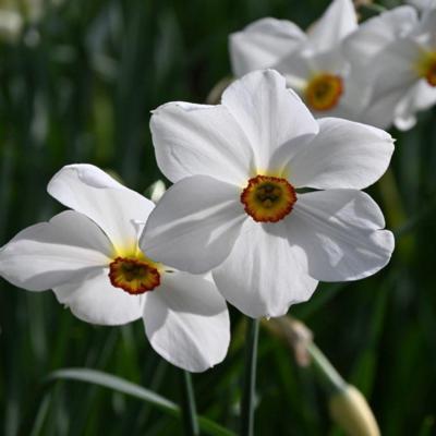 narcissus-actaea