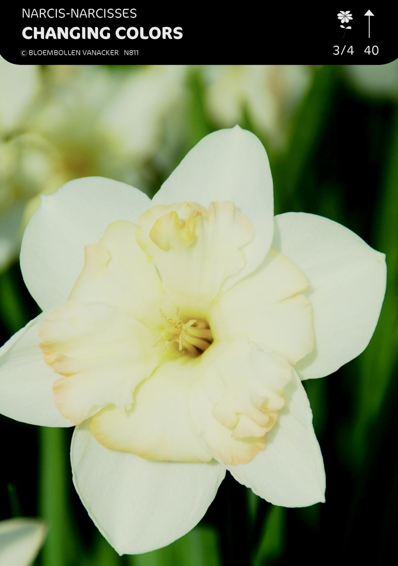 Narcissus 'Changing Colors' plant