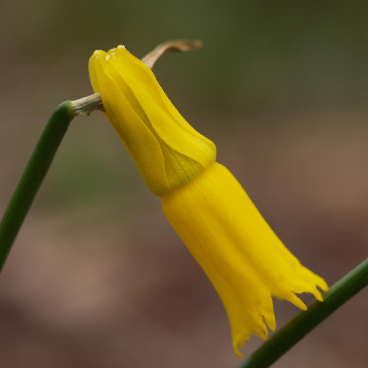 Narcissus cyclamineus plant