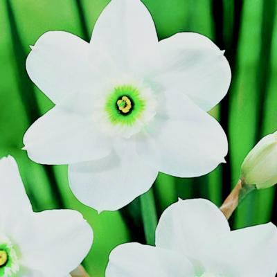 narcissus-green-eyes