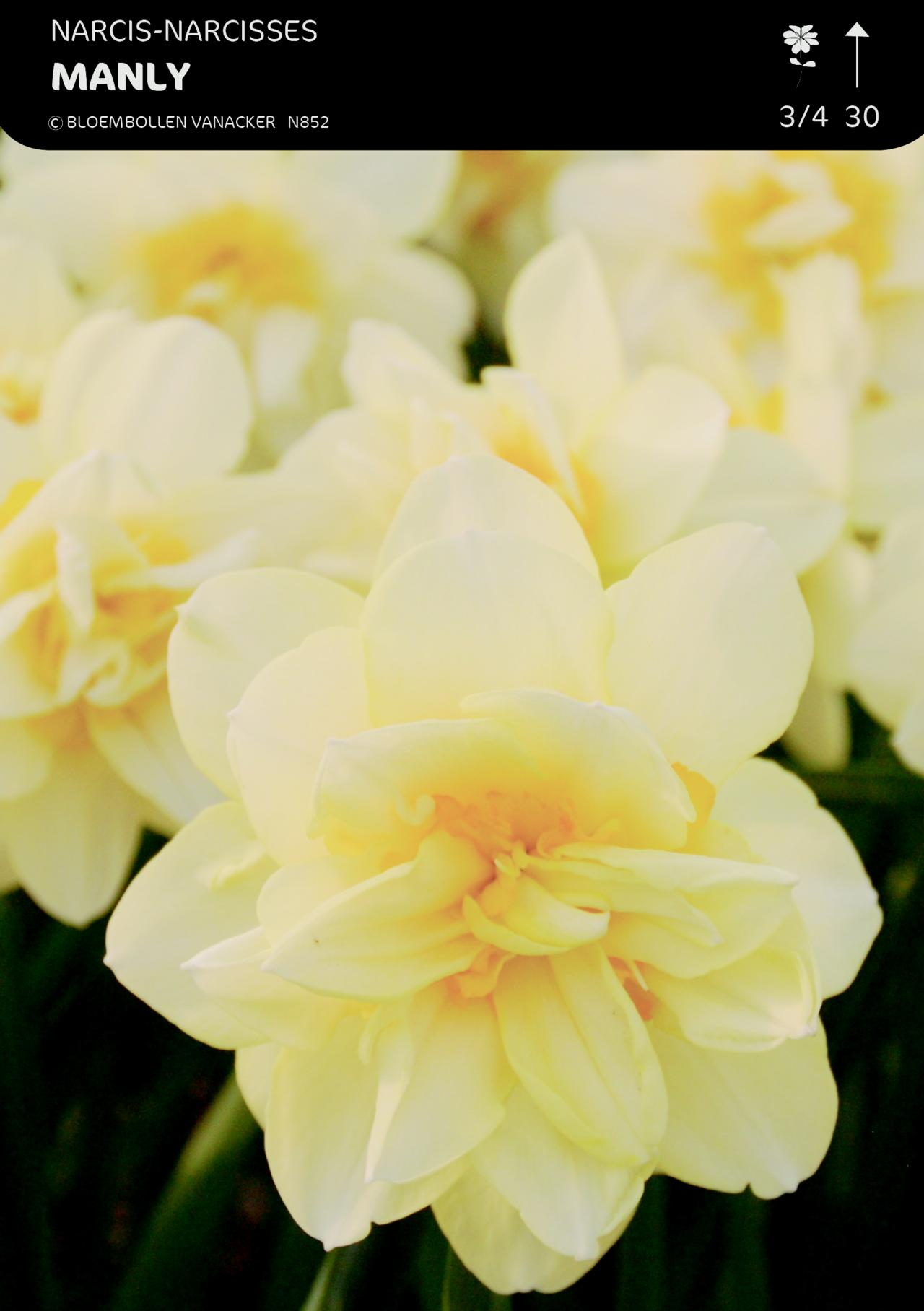 Narcissus 'Manly' plant
