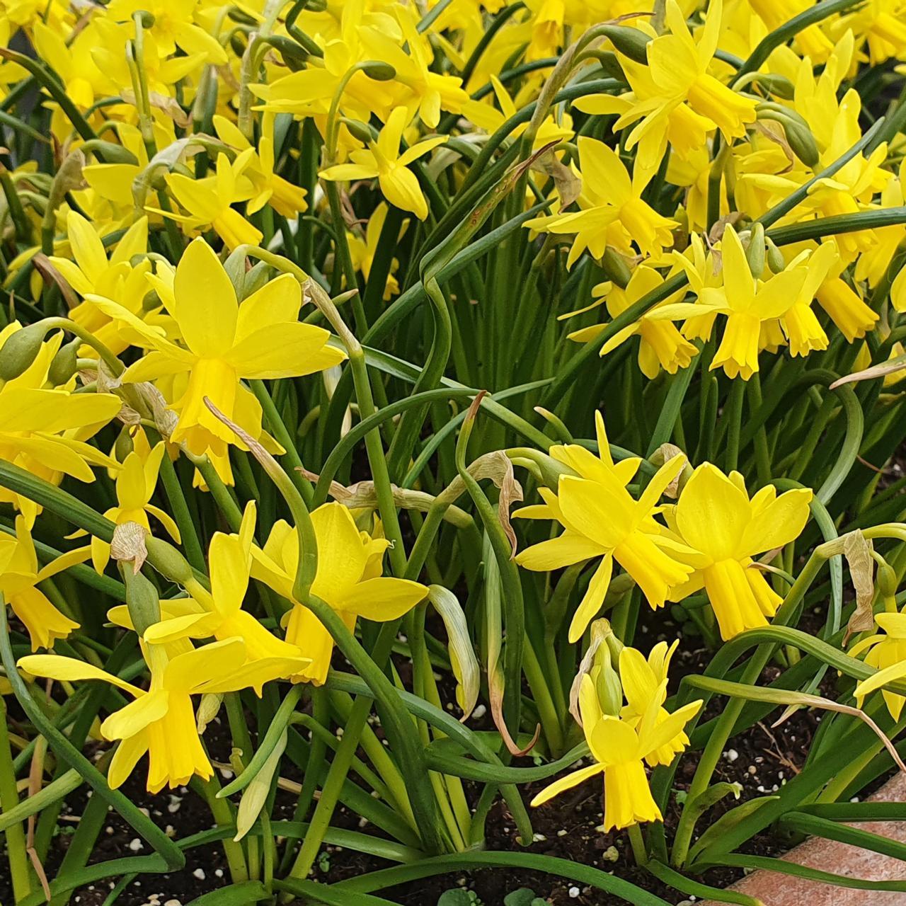 Narcissus 'Tiny Bubbles' plant