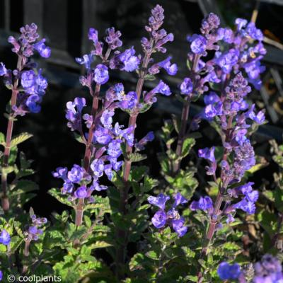 nepeta-faassenii-purrsian-blue