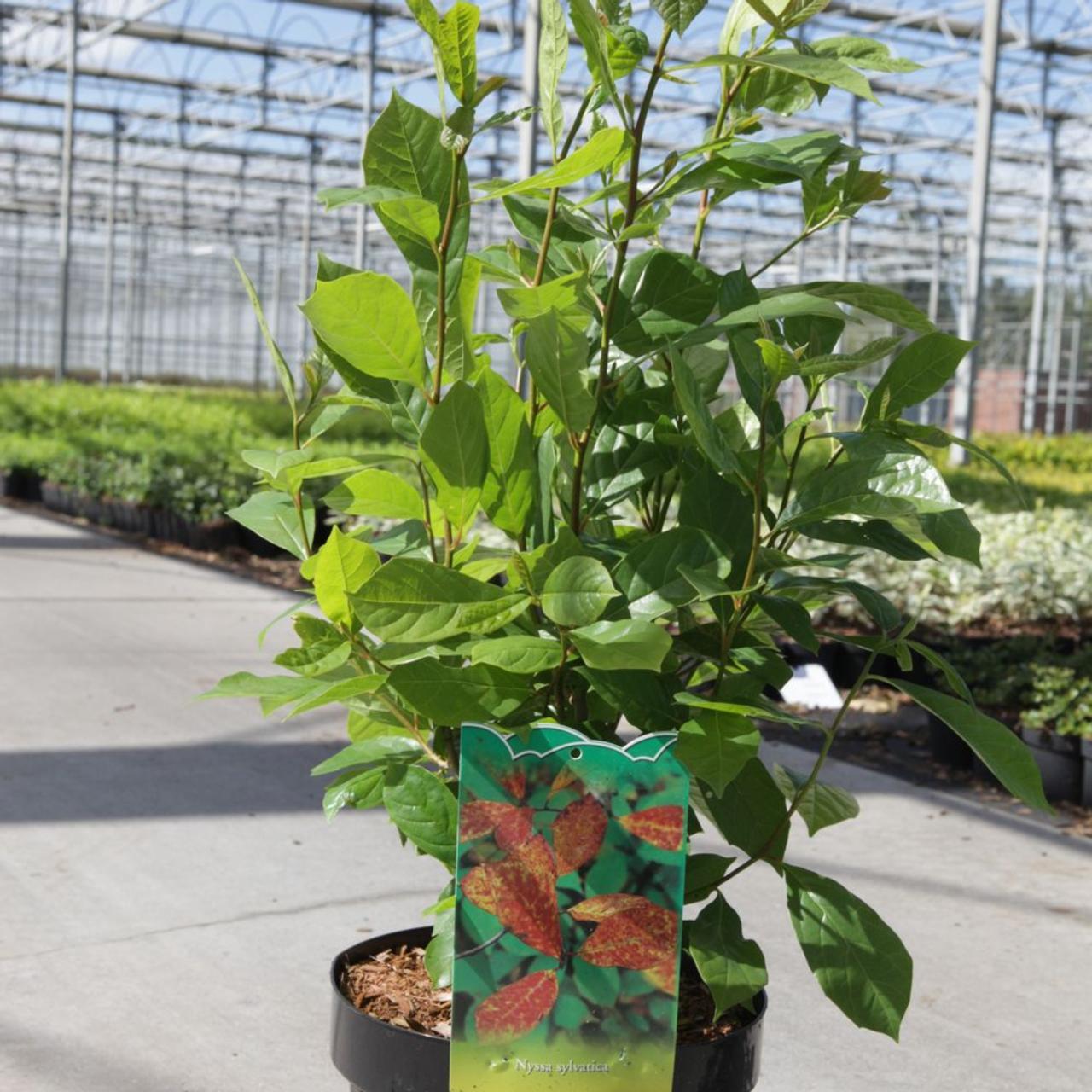 Nyssa sylvatica plant