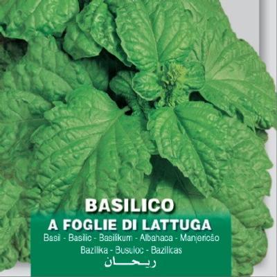 ocimum-basilicum-foglie-di-lattuga