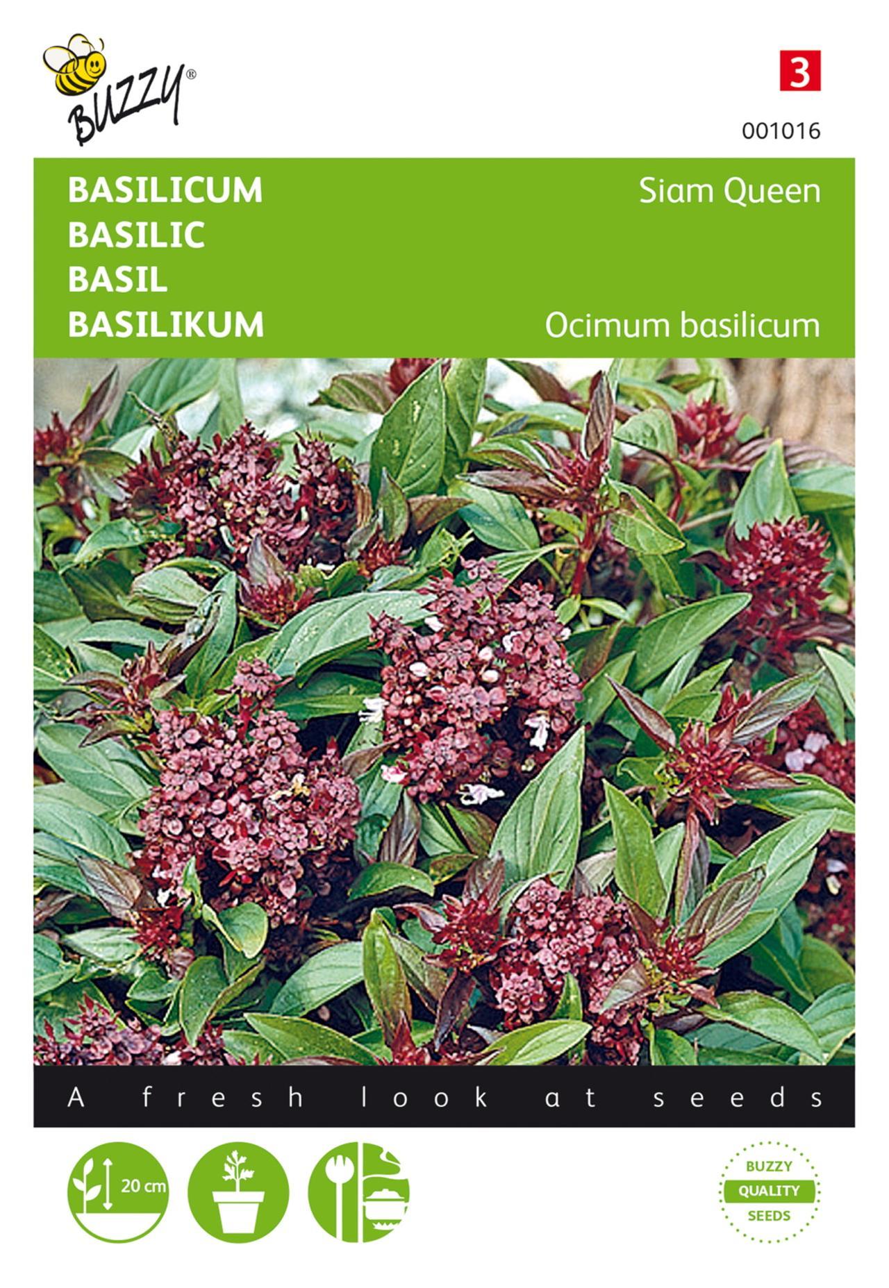 Ocimum basilicum 'Siam Queen' plant