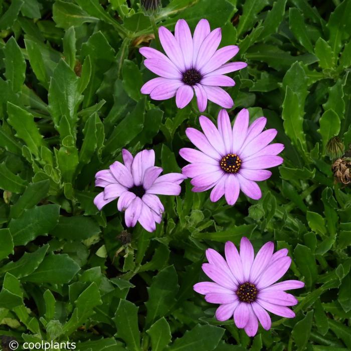 Osteospermum 'Cannington Roy' plant