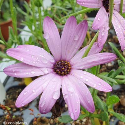 osteospermum-cannington-roy