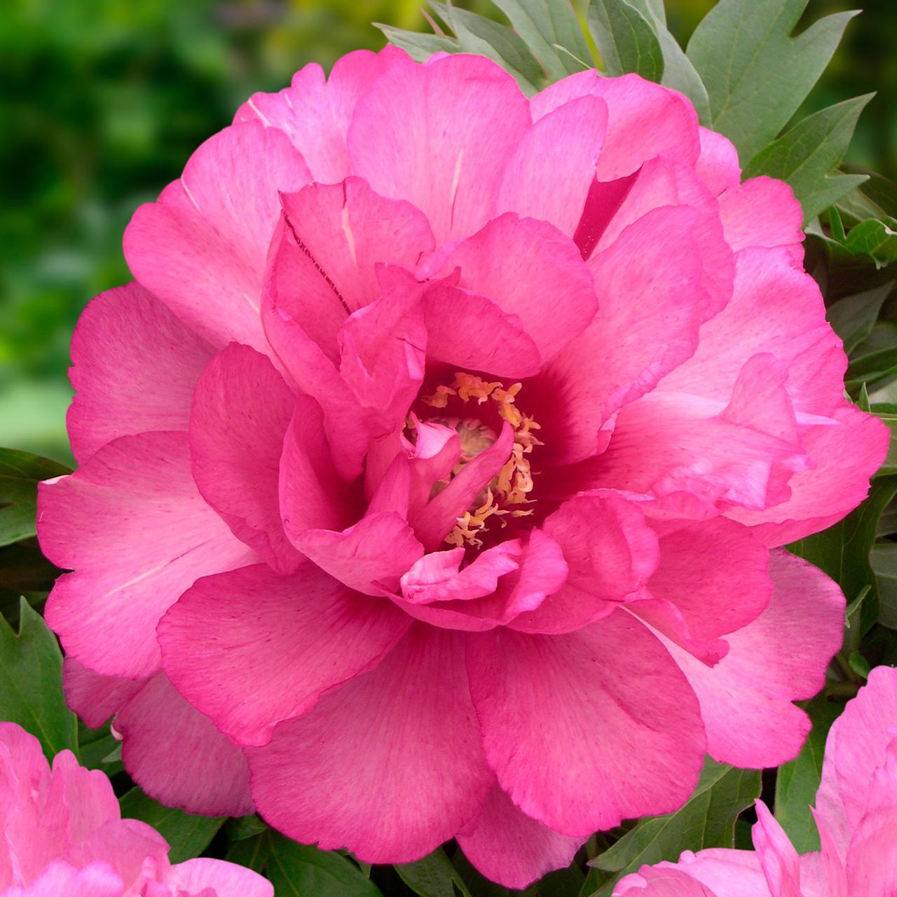 Paeonia itoh 'Julia Rose' plant