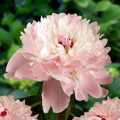 paeonia-lactiflora-alertie