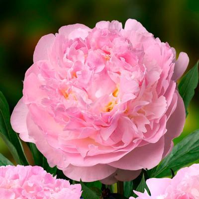 paeonia-lactiflora-blush-queen