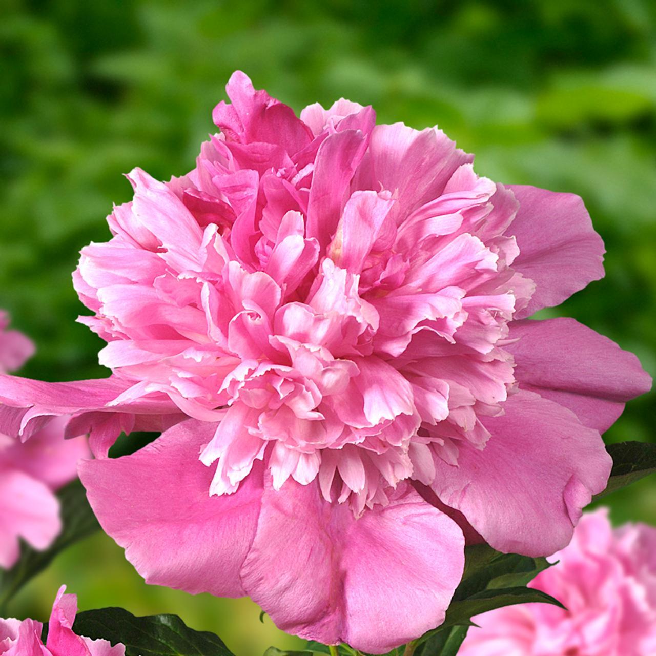 Paeonia lactiflora 'Bouquet Perfect' plant