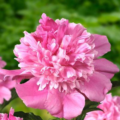 paeonia-lactiflora-bouquet-perfect
