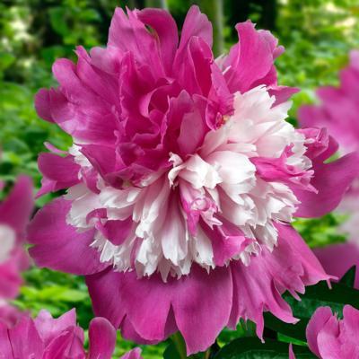 paeonia-lactiflora-celebrity