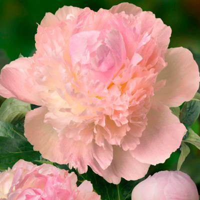 paeonia-lactiflora-chiffon-parfait