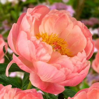 paeonia-lactiflora-coral-charm