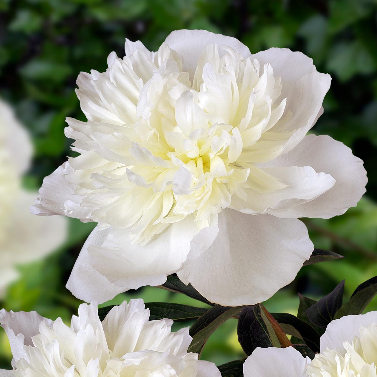 Paeonia lactiflora 'Duchesse de Nemours' plant