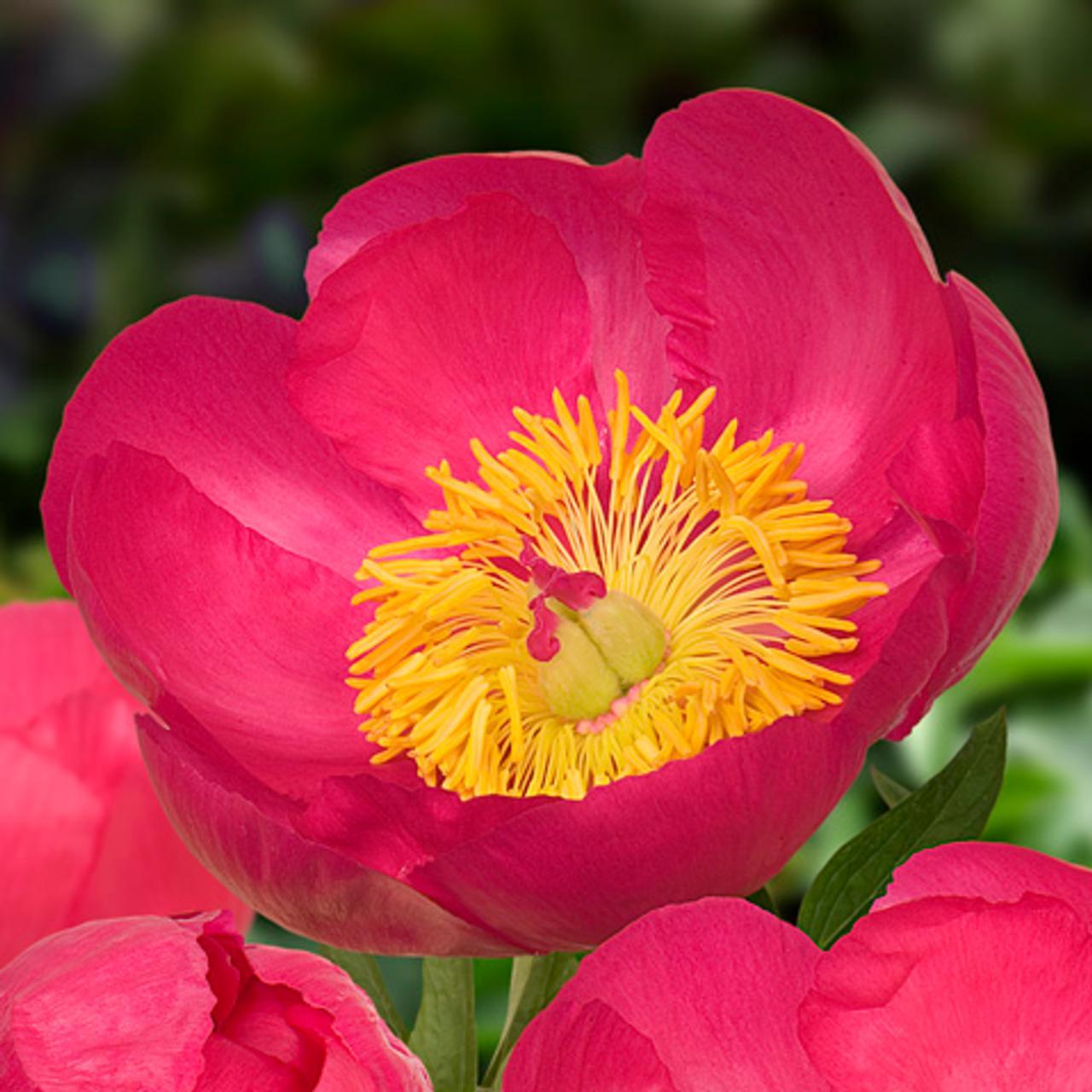 Paeonia lactiflora 'Flame' plant