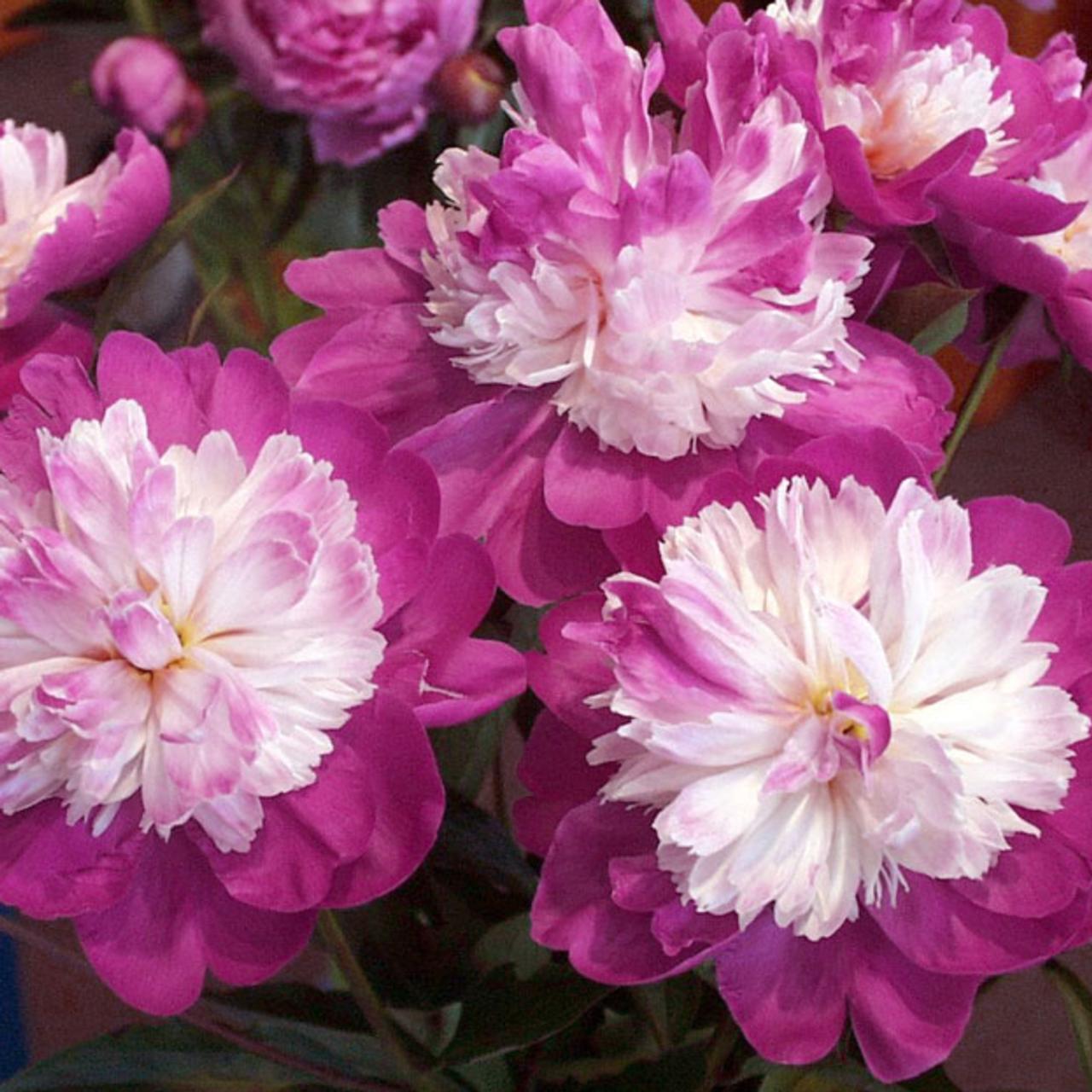 Paeonia lactiflora 'Gay Paree' plant