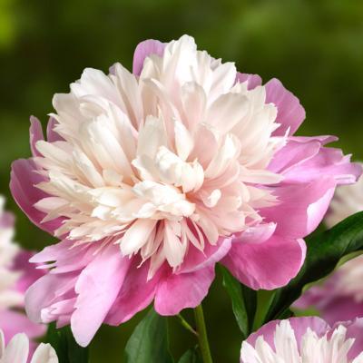 paeonia-lactiflora-lady-liberty