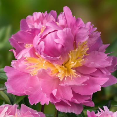 paeonia-lactiflora-lavon
