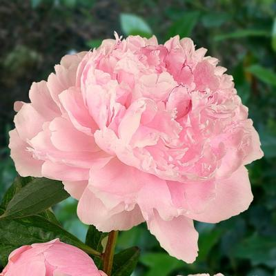 paeonia-lactiflora-sarah-bernhardt