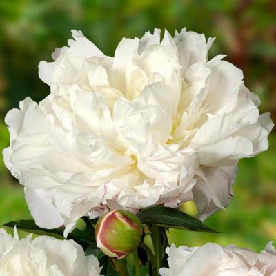 paeonia-lactiflora-shirley-temple