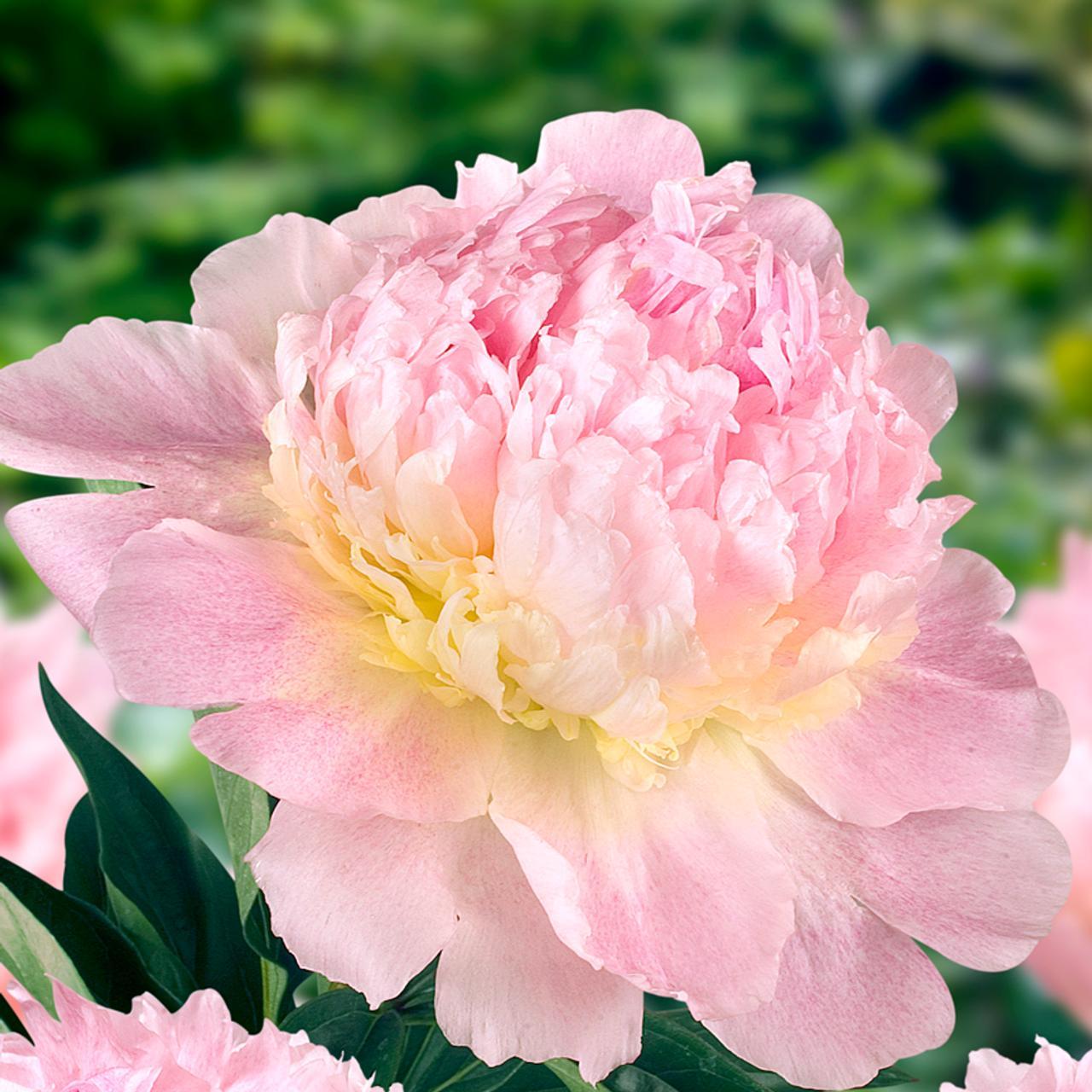 Paeonia lactiflora 'Raspberry Sundae' plant